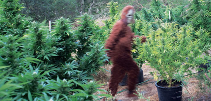 Colorado: Hunter claims he was sexually assaulted by a sasquatch-bigfoot_marijuana_growers-700x336.png