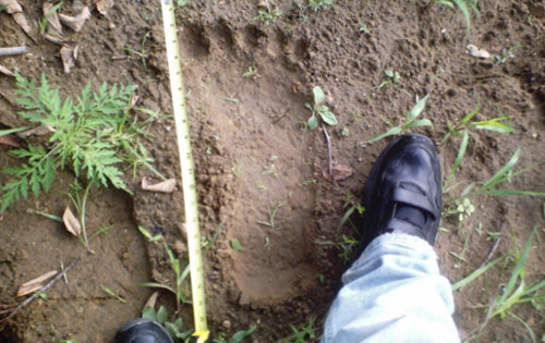 Colorado: Hunter claims he was sexually assaulted by a sasquatch-bigfootprint.jpg